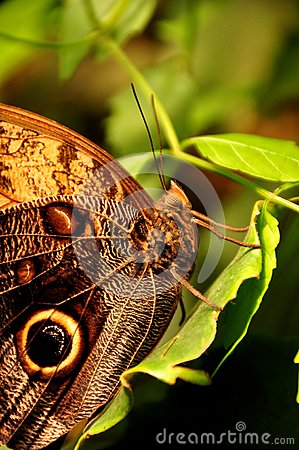 Cream Owl Buttefly