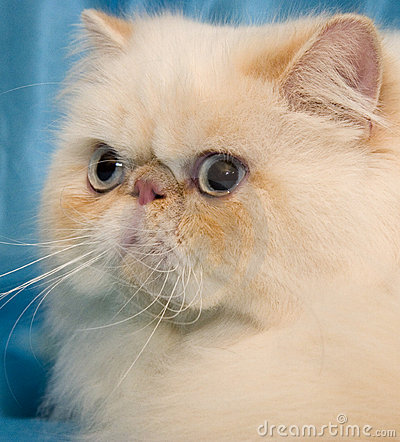 Cream persian cat with big white whiskers