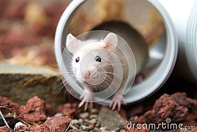 Cream rat