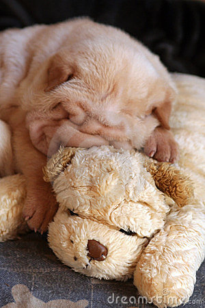Cream sharpei puppy sleeping