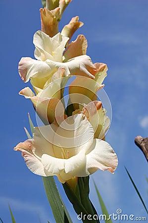 Creamy gladiolus