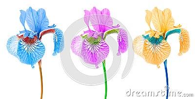Creative Multicolored Iris Flowers