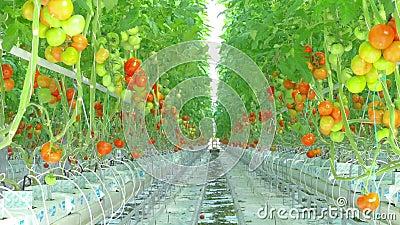 Crecimiento natural maduro de los tomates almacen de video