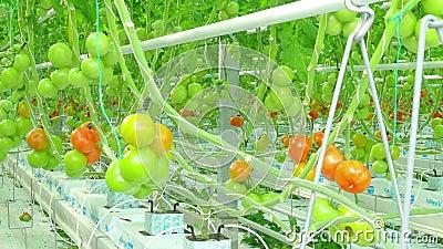 Crecimiento natural maduro de los tomates metrajes