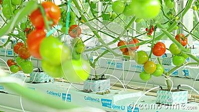 Crecimiento natural maduro de los tomates almacen de metraje de vídeo