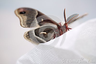 Crecropia moth