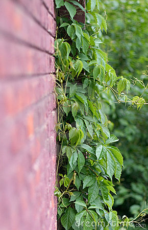 Creeper Vine Editorial Stock Photo