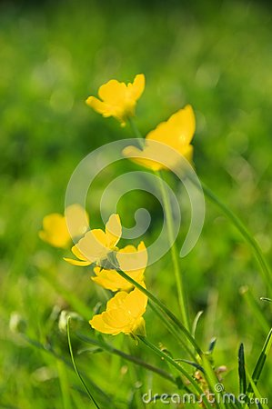 Free Creeping Buttercup Stock Image - 42623401
