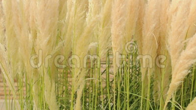 Crema Color Fluffy Plants Close Up Fluffy Feathery Plant