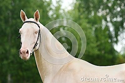 Cremello achal-tecke stallion