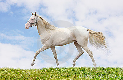 Cremello stallion on grass