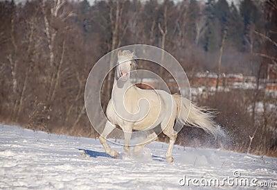Cremello welsh ponny