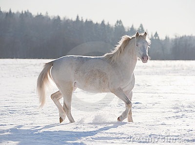 Cremello welsh pony
