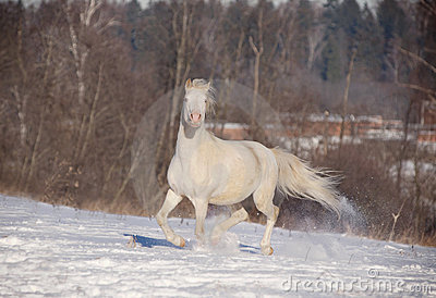 Cremello welsh pony