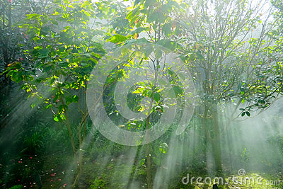 Crepuscular rays in a forest