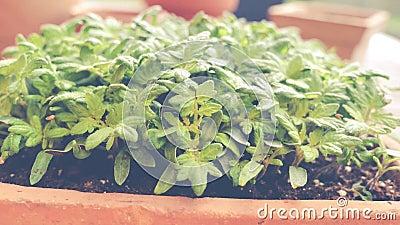 Cresça o tomate da semente - vídeo mostra plântulas novas do tomate na bandeja da semente - zorra disparada vídeos de arquivo