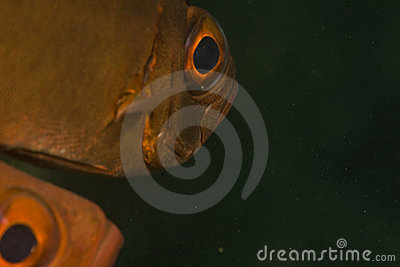 Crescent-tail bigeye (priacanthus hamrur)