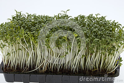 Cress seedlings