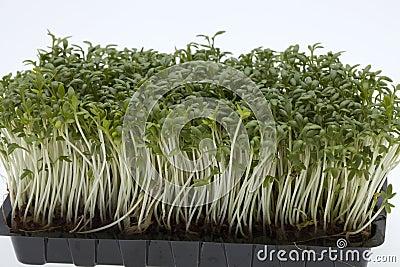 Cress seedlings