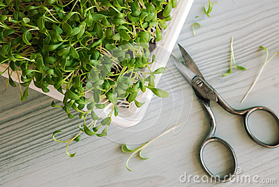 Cress sprouts and scissors