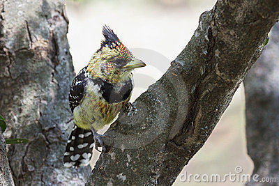 Crested Barbet bird