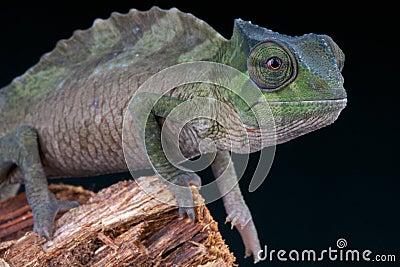 Crested chameleon / Trioceros cristatus