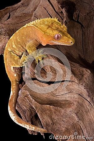 Crested gecko climbing