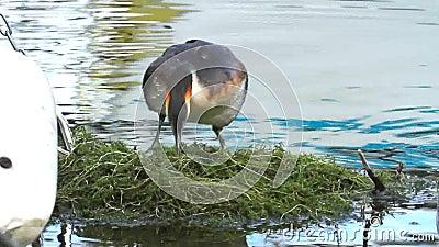 Crested grebe, podiceps cristatus, duck on nest. Crested grebe duck, podiceps cristatus, on nest stock video