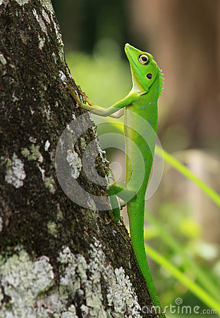Free Crested Green Lizard On Tree Trunk Stock Photo - 59882900