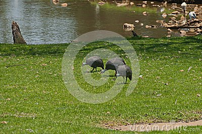 Crested guineafowl in Johannesburg zoo