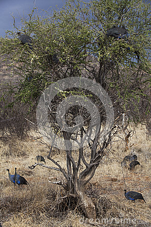 Crested Guineafowl in Kenia