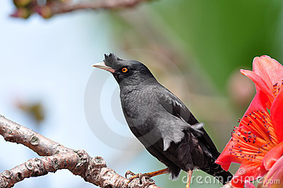 Crested Myna on Cotton tree
