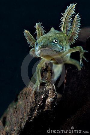 Crested newt larva new spring life water animal