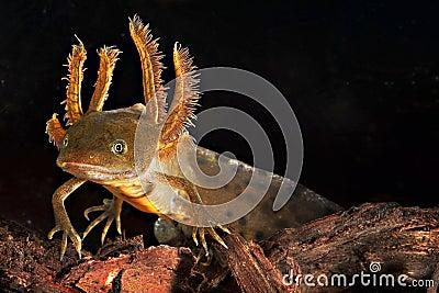 Crested newt tadpole water salamander amphibian
