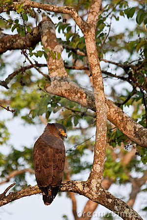 Crested Serpent Eagle in Bandipur National Park