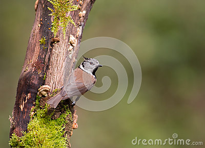Crested Tit on moss log