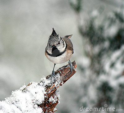 Crested Tit in snow