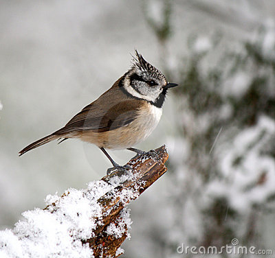 Crested Tit in winter