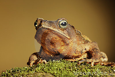 Crested toad amphibian big mouth and eyes