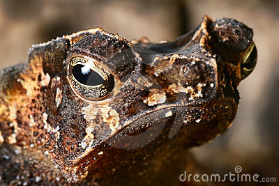 Crested toad amphibian eye tropical animal