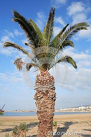Cretan date palm Phoenix theophrasti