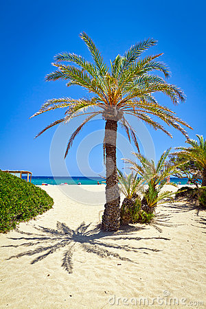 Cretan Date palm tree on idyllic Vai Beach