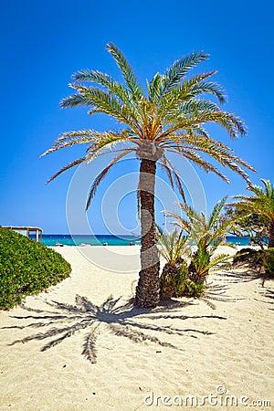 Cretan Date palm tree on idyllic Vai Beach