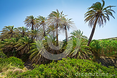Cretan Date palm trees with bananas on Crete