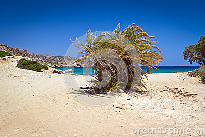 Cretan Date palm trees on Vai Beach