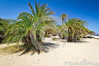 Cretan Date palm trees on Vai Beach, Greece