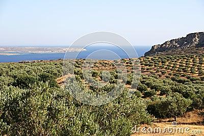 Crete / Olive trees