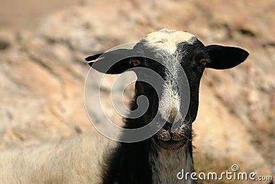 Crete / Sheep