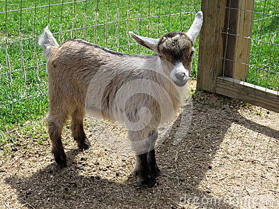 Criança nigeriana da cabra do anão (fêmea)