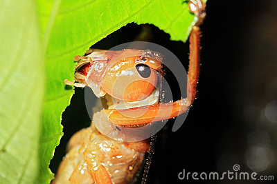 Cricket Feeding on a Leaf